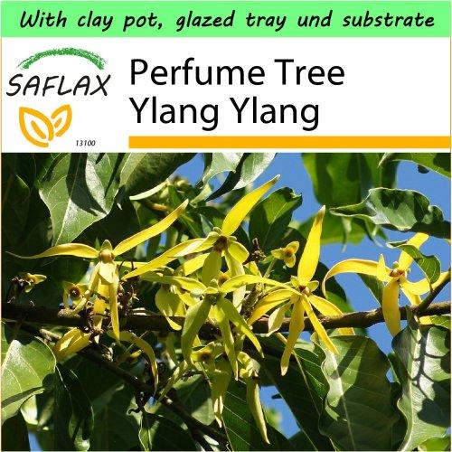 SAFLAX Garden to Go - Perfume Tree Ylang Ylang - Cananga - 10 seeds