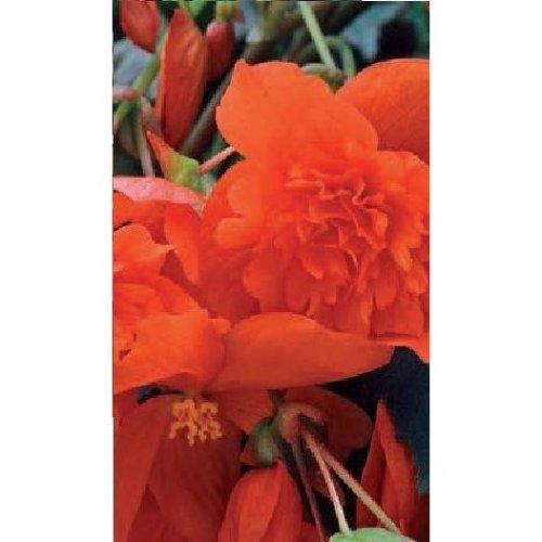Flower - Begonia - Illumination Orange F1 - 50 Seeds