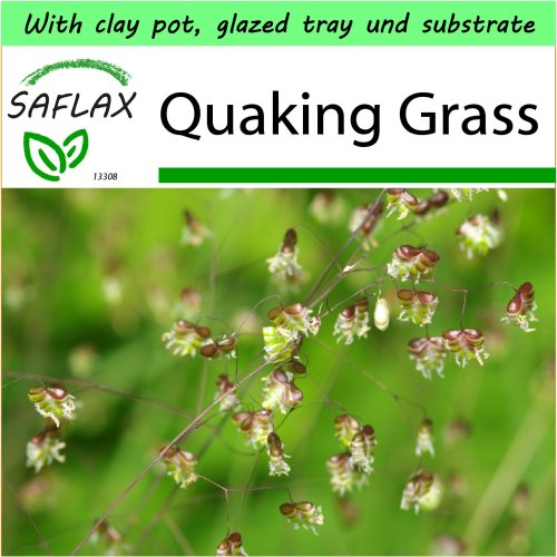SAFLAX Garden to Go - Quaking Grass - Briza media - 75 seeds - With clay pot, glazed tray, potting substrate and fertilizer