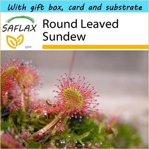 Round-leaved Sundew.. 50 graines CARNIVORE..