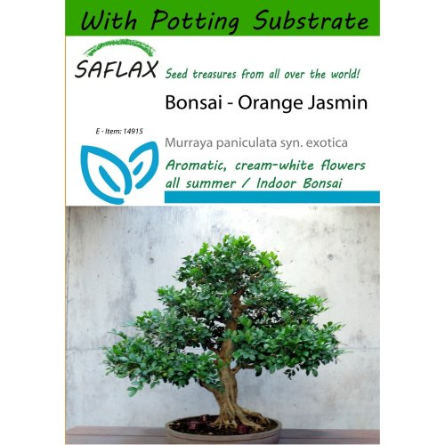 Saflax  - Bonsai - Orange Jasmin - Murraya Paniculata Syn. Exotica - 12 Seeds - with Potting Substrate for Better Cultivation