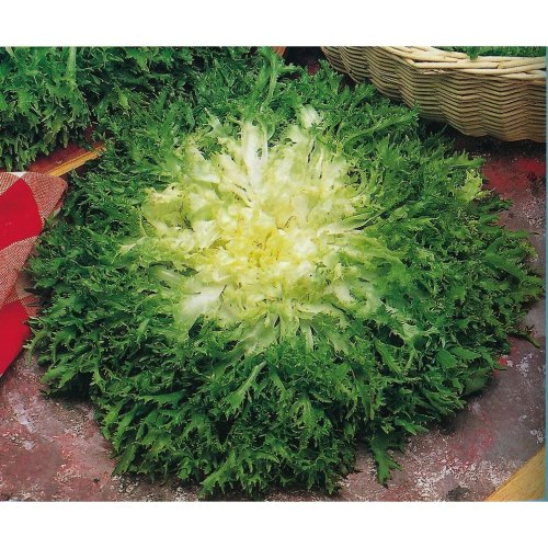 Vegetable - Endive - Fine Maraichere - 500 Seeds