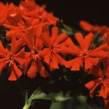 Flower - Lychnis Chalcedonica - 200 Seeds