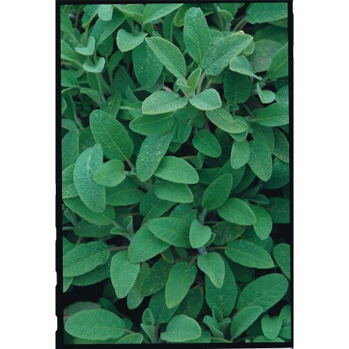 Herb - Sage - 200 Seeds