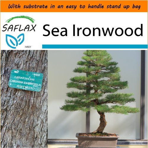 SAFLAX Garden in the Bag - Bonsai - Sea Ironwood - Casuarina - 200 seeds